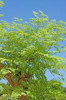 Moringa oleifera (the tree of life)