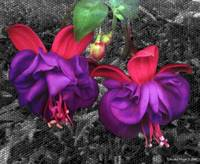 0014. Fuschia Flower