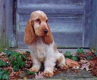 0097. English Cocker Spaniel