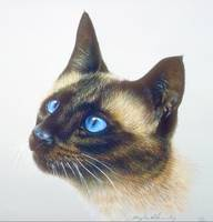 Siamese Pet Cat with Blue Eyes Head Study