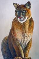 Staring Cougar Sitting on Haunches