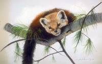 Pine Marten Peek-A-Boo on a Tree Limb