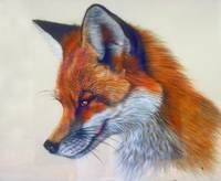 Red Fox Artistic Head Study