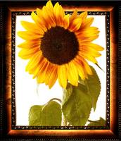 frame with a sunflower