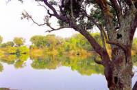 Zambezi River Tree