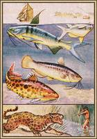 Cat Fish, Tiger Fish, Jaguar Fish