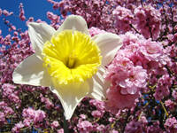 Daffodil Flowers Spring Pink Tree Blossoms
