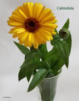 Calendula with title, Heidi Brandt