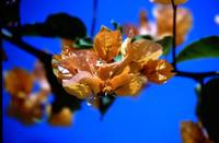 Orange Bougainvillea