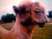 The Drooling Hungry Camel