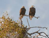 Male & Female Bald Eagle.