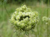 Queen Anne's Lace 9322