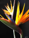 Cut Bird of Paradise Flowers 1