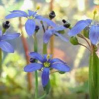 Blue-Eyed Grass at Lake Tarpon by I.M. Spadecaller