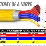 Anatomy of a Nerve Prints & Posters