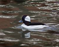 Male Bufflehead Duck.