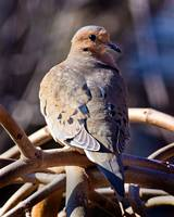 Mourning Dove in the Morning Sunlight.
