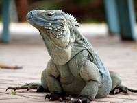 Cayman Islands Endangered Blue Iguana