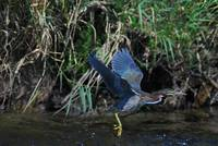 Green-backed Heron taking flight