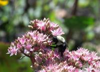 083107 BEE ON SEDUM
