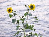 092407 SUNFLOWER A