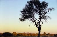 Outback Tree Silhouette