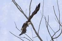 Bald Eagle soaring around the trees