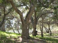 Griffith Park Trees 1