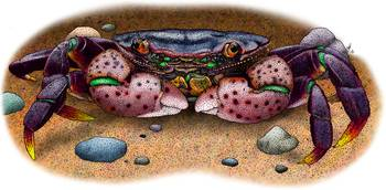 Purple Shore Crab