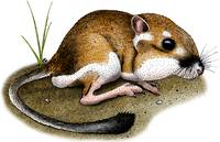 California Kangaroo Rat