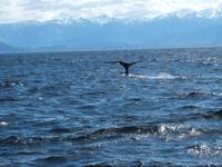 whale wATCH, KAIKOURA, NZ982