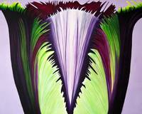 Large Purple Fringed Tulip