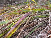 Bent Grass in Color