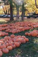 Pumpkins Anyone!