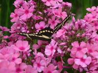 Pink Phlox with Butterfly