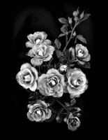 Lavender Delight - Miniature Rose B&W