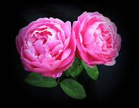 Mary Rose - Austin Shrub Rose -