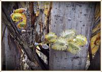Pussywillow Blooms_IV