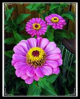 Purple Zinnias - Gifts From God in The Garden