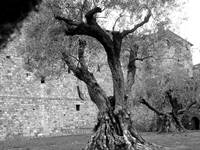 Olive Tree Napa The Castle_2