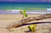 Baby Tree on Beach, Puerto Rico