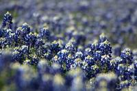 Bluebonnet Trail 8828