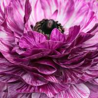 Purple-Pink Ranunculus