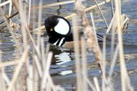 Hooded Merganser- i dont think she can see me