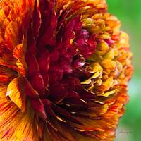 Crimson and Orange Ranunculus