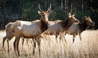 Cataloochee Elk - Great Smoky Mountains Wildlife