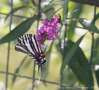 Zebra Swallow Tail-2010