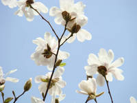 White Magnolia Tree Flowers Blue Sky