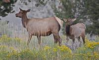 mom and baby elk