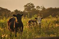 Evening Cows